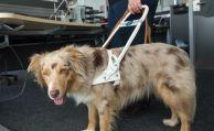 Versicherung muss nicht für kranken Blindenhund zahlen